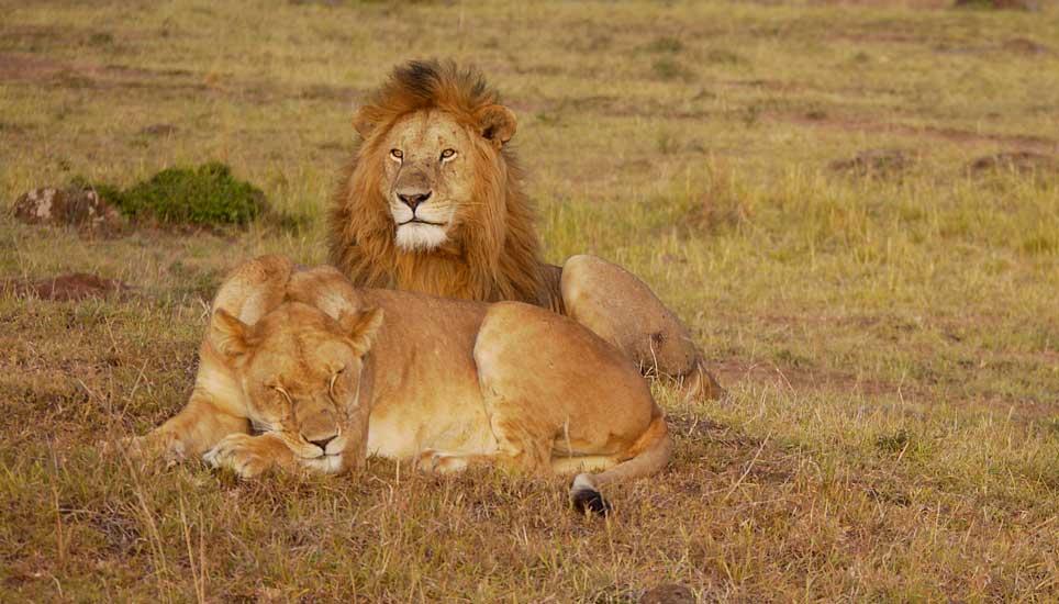 Lions sleeping