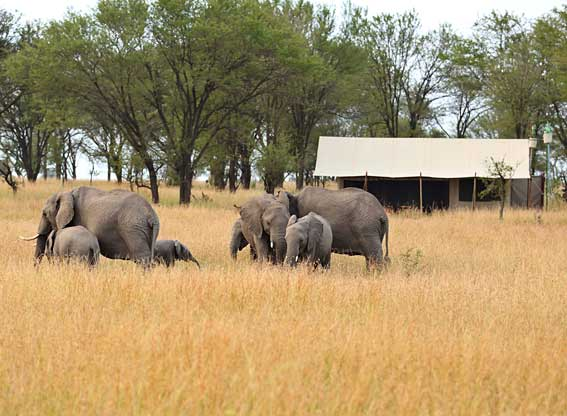 elephant-in-camp